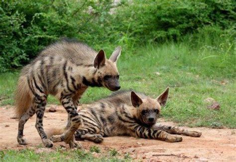 striped hyena expanded range africa