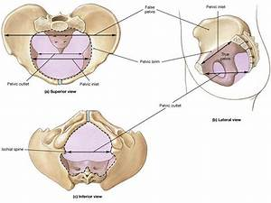 Diagram Of True Pelvis