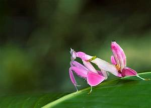 35 Orchid Mantis Facts: Bloodthirsty Living Flowers ...