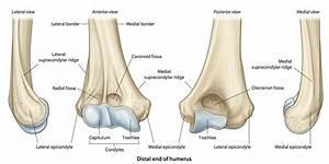 Capitulum Anatomy