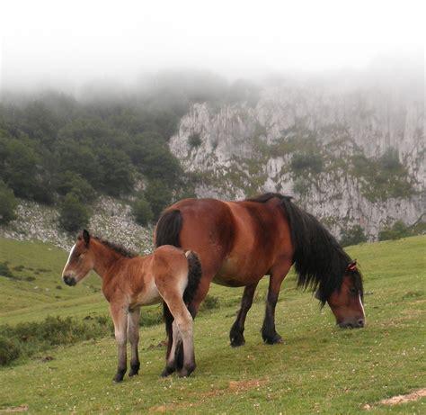 cheval des montagnes du pays basque wikip 233 dia