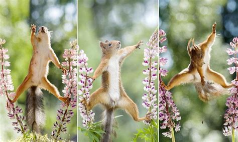 Squirrel does the splits on flower stalks in Geert Weggen