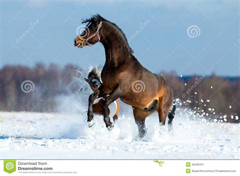 horses fast running cavalli two snow che neve playing corrono pferde paarden nella cavalos chevaux velocemente due twee laufen schnell