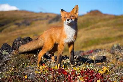 Wildlife Animals Fox Animal Desktop Backgrounds Wallpapers