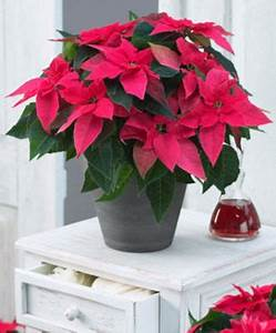 Weihnachtsstern Pflanze Kaufen : weihnachtsstern princettia 39 dark pink 39 von bakker auf ~ Michelbontemps.com Haus und Dekorationen