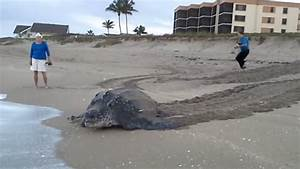 People Left Stunned After Giant Turtle Emerges From Sea ...