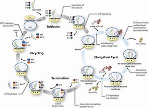 Schematic Diagram Of Bacterial Protein Synthesis  Shown