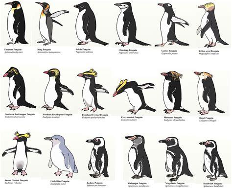world penguin day   plight   african penguin
