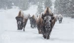 Bison Yellowstone National Park Winter