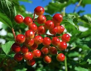 Busch Mit Roten Beeren : ein gro er haufen von roten beeren viburnum stockfoto colourbox ~ Markanthonyermac.com Haus und Dekorationen