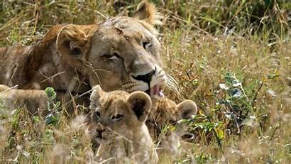 Lion Screensavers 4k Wallpapers Ultra Animal Background