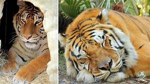 Priya's story, a tiger rescued from cub petting, Part 2 ...