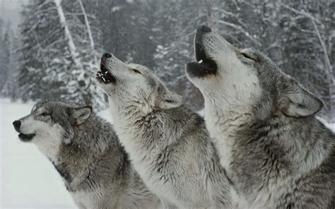 thesis wolf canis lupus 101 the songs of the wolves a beautiful essay