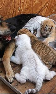 Bengal tigers nursed by dog at Xixiakou Wildlife Zoo ...