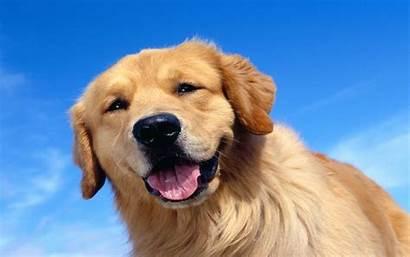 Golden Retriever Wallpaperart Puppy Cocker Forever Retrievers