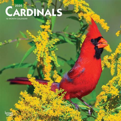 cardinals monthly square wall calendar animals