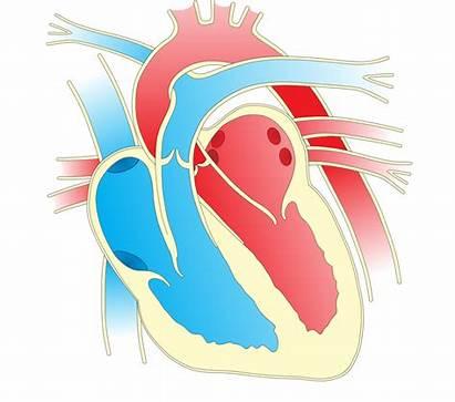 Heart Diagram Clip Onlinelabels