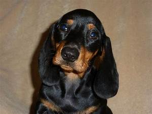 MINIATURE SMOOTH - HAIRED DACHSHUND PUPPIES | Holyhead ...