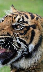 Tiger Snarling Close-Up · Free photo on Pixabay