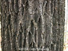 trees of wisconsin fraxinus americana white ash