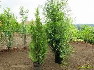 Thuja Brabant Pflege Thuja Lebensbaum 39 Brabant 39