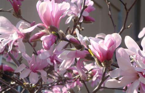 magnolia shrub varieties magnolia trees flohaus