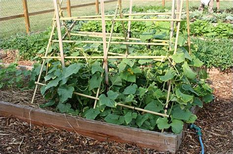 trellis for cucumbers cucumbers so you want to make salads and pickles town