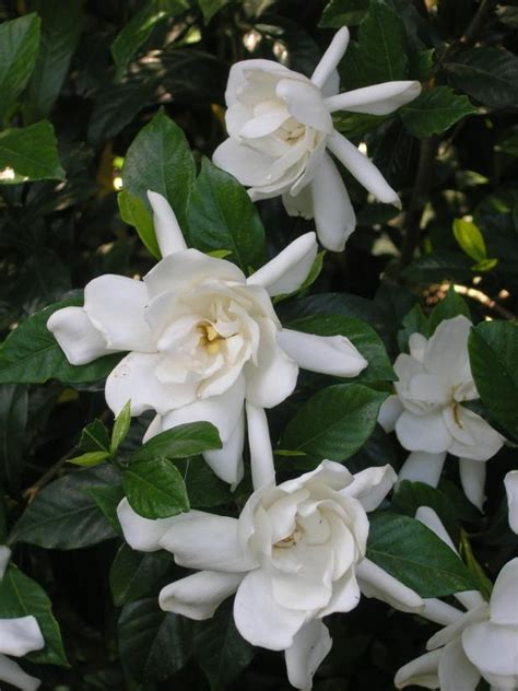 flowers that smell the sweet smell of growing gardenias hgtv