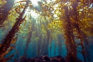 Why Seaweed  Not Solar  May Be The Energy Of Tomorrow