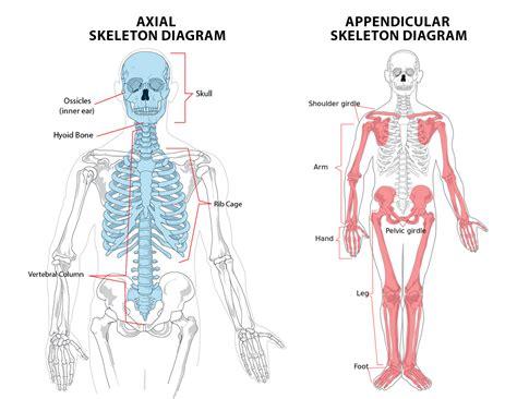 skeletal system ib sehs notes