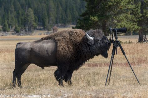 wildlife photography turns scary  bison charges