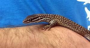 10 Mega Pet Lizards | Reptile Centre