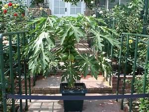 How to Grow Dwarf Papaya | eBay