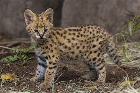 Hello, Kitty! Serval Kitten Makes His Public Debut At San
