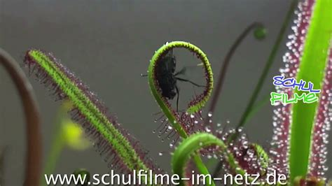 fleischfressende pflanzen schulfilm biologie youtube