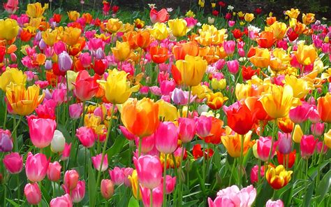 Tulip Picture Hd by Wallpapers Tulips Wallpapers
