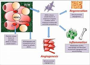 Proposed Action Of Adipose Derived Stem Cells  Adscs  In
