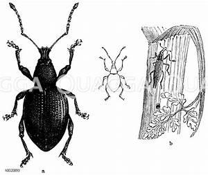 Großer Schwarzer Käfer Bilder : gro er schwarzer r sselk fer vergr ert und nat rliche gr e links lixus paraplecticus rechts ~ Frokenaadalensverden.com Haus und Dekorationen
