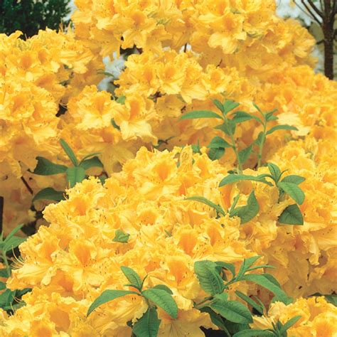 Golden Lights Azalea by Buy Golden Lights Hardy Azalea At Hill Nursery