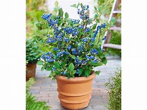 Pflanzen Kübel : topf heidelbeere 1 pflanze vaccinium corymbosum ~ Pilothousefishingboats.com Haus und Dekorationen