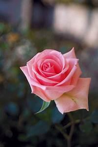 Pink Rose Flower Wallpaper Hd Tumblr For Walls For Mobile