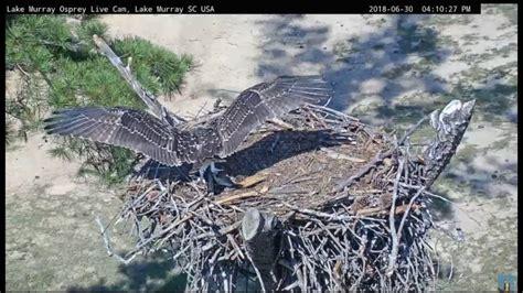 Search lake murray homes | melcoker.com. Lake Murray Osprey Cam Ricky brings fish Lynn takes off ...