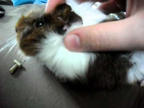 worlds cutest baby guinea pig youtube