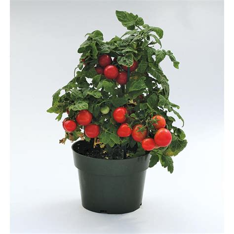 shop 1 gallon sweet n neat cherry tomato plant lb21629
