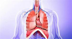 What Essential Organs Are In The Thoracic Cavity