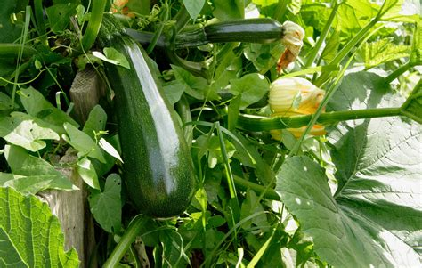 How To Grow Loads Of Delicious Zucchini–the Most Versatile