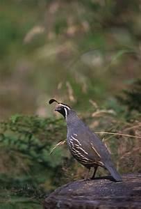 Bobwhite Quail - Birds