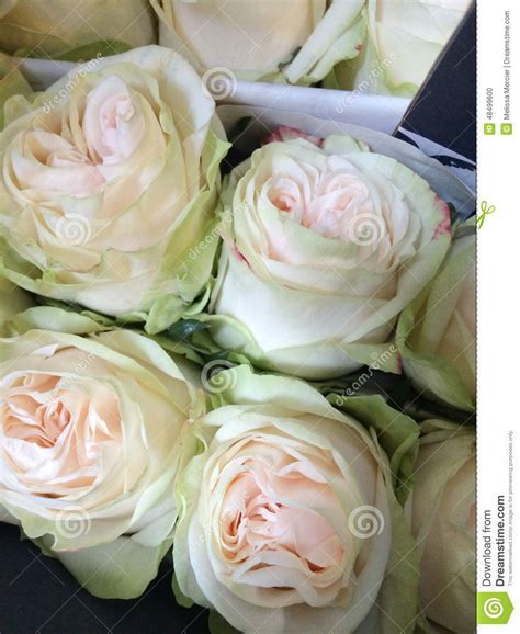 Light Green And Cream Colored Roses Stock Photo Image