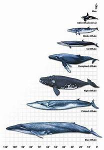 Whale Length Chart   With Images