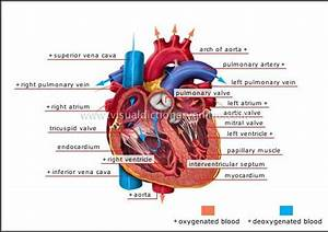 Blood Circulation In Human Heart